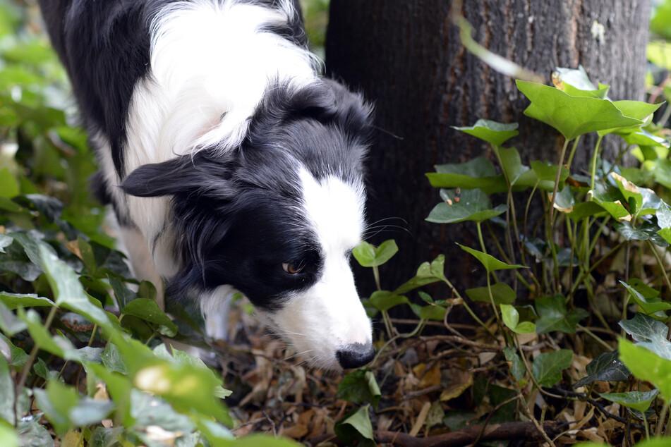 Ein Border Collie schnüffelt sich bei einem Spaziergang durch sein Revier.