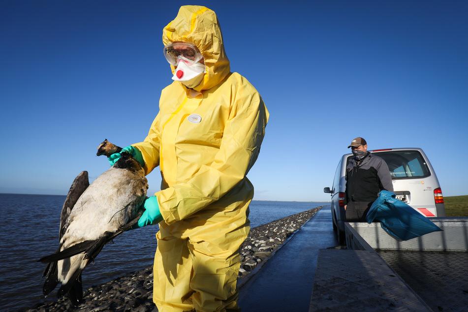 Tausende Gänse, Enten und andere Vögel sind in den vergangenen Wochen tot an der Westküste Schleswig-Holsteins aufgefunden worden.