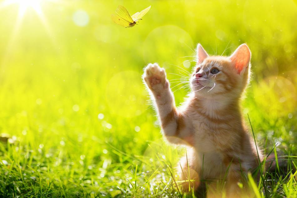 Diese junge Katze jagt einen Schmetterling.