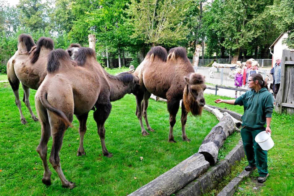 Tierpflegerin Catherina Heckel (32) füttert die Kamele. Sie sind die größten Tiere im Tiergarten.