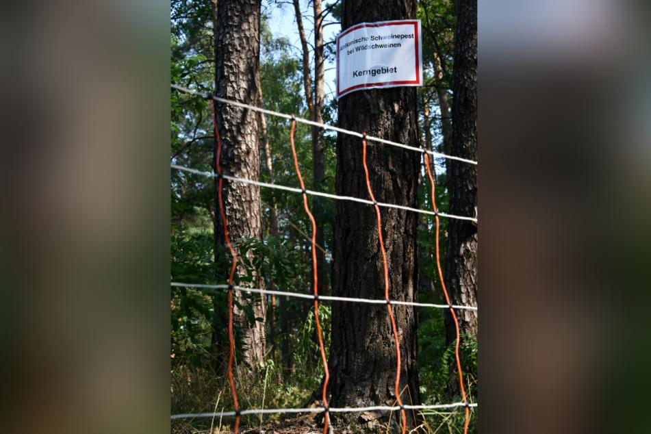 Wildbarriere: 128 Kilometer Elektrozaun schützen Sachsen an der Grenze zu Polen vor infizierten Tieren aus dem Nachbarland.