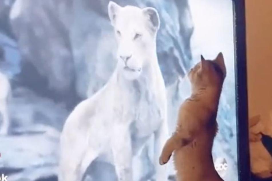 """Katze schaut gebannt """"König der Löwen"""": Dann zeigt sie eine echt witzige Reaktion"""