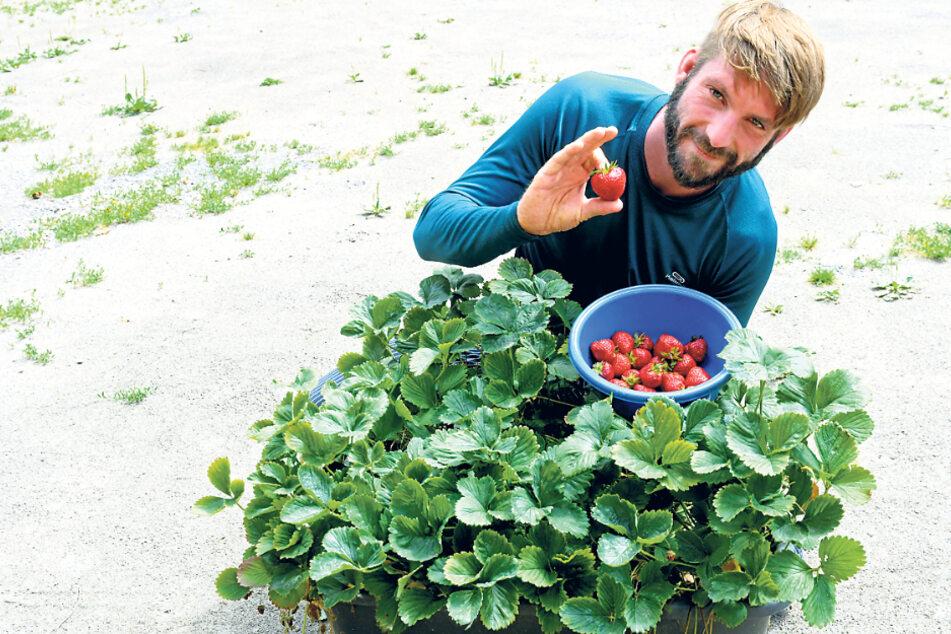 Willy Opitz bereitet nur frische Früchtchen zu. Erdbeeren gehen immer.