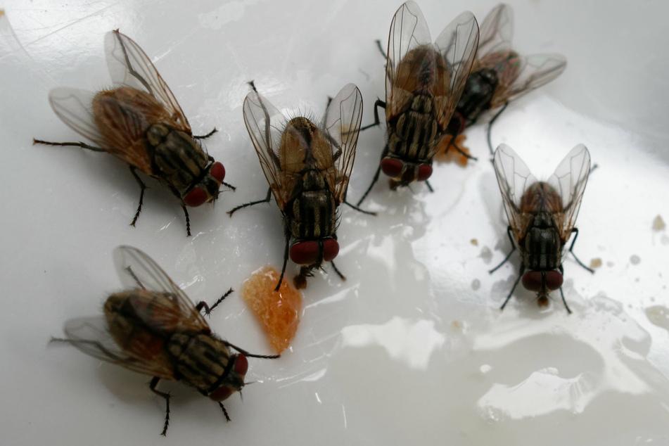 Die Bewohner des Gründauer Ortsteils Lieblos leiden ganz besonders unter der seit Jahren andauernden Fliegen-Plage. (Symbolfoto)