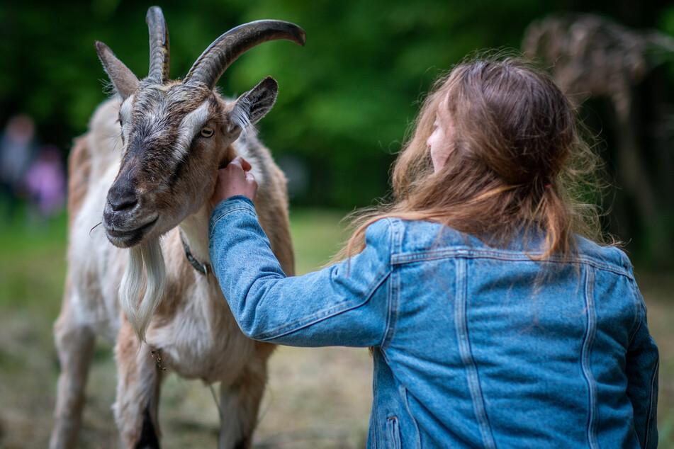 Während der Wanderung mit den Ziegen-To-Go lassen sich die Tiere natürlich auch gerne mal streicheln.