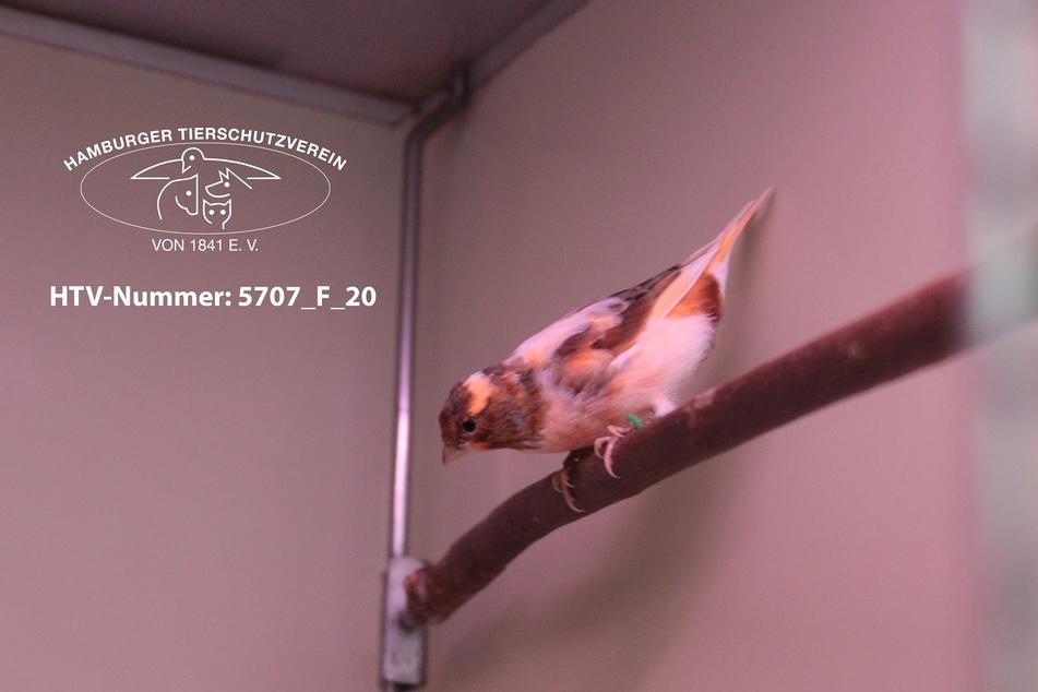Kennt ihr diesen kleinen Kanarienvogel?