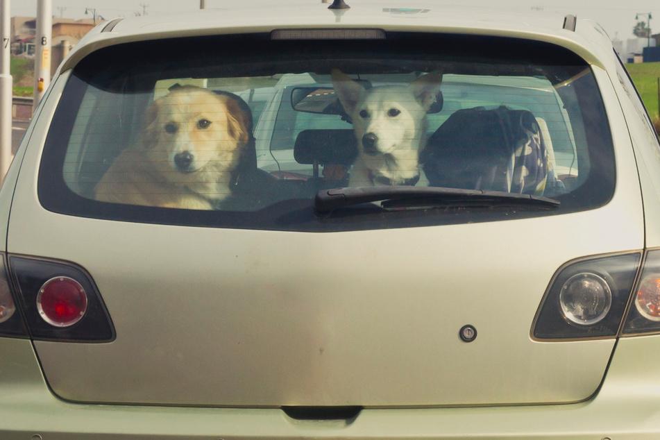 Bei sommerlichen Temperaturen sollten Tiere auf keinen Fall im Auto zurückgelassen werden. Falls doch, ist auf ausreichende Luftzufuhr zu achten. (Symbolbild)