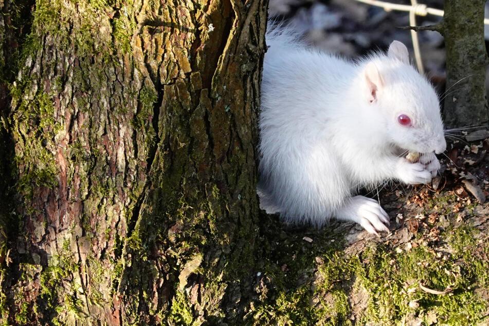 Schneeweiß mit roten Augen: Seltenes Albino-Eichhörnchen gesichtet