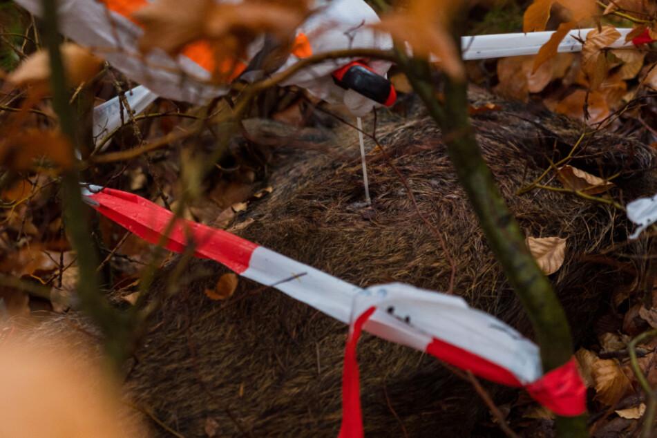 Afrikanische Schweinepest: Weitere Fälle in Sachsen nachgewiesen