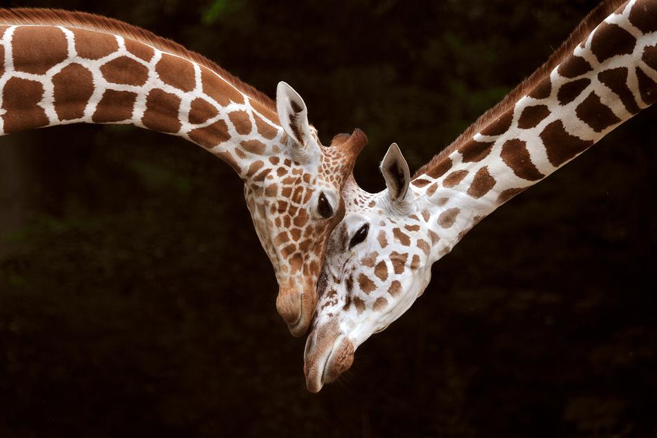 """Die Netzgiraffen sind eigentlich die """"Stars"""" des Kölner Zoos. Doch jetzt bleiben die Besucher aus."""