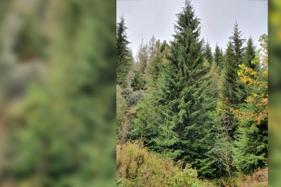Chemnitz: Das ist der Weihnachtsbaum für Chemnitz!