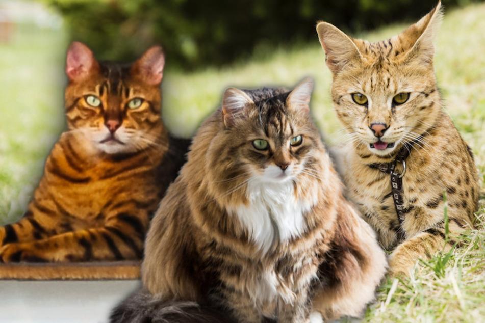 Die Savannah-Katze (v.r.n.l.), die Sibirische Katze und die California Spangled sind in der Anschaffung und Haltung teurer als andere Rassen.