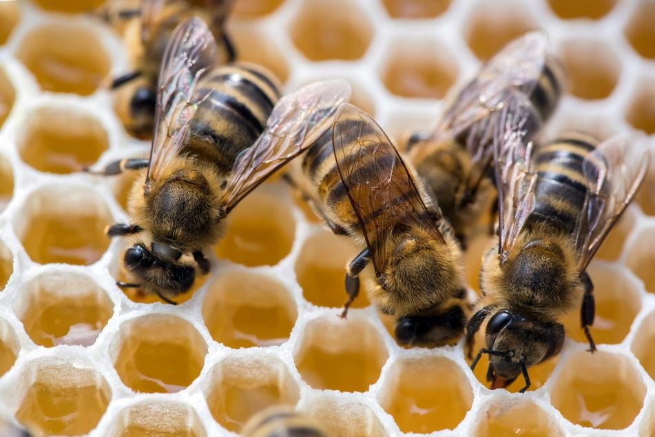 Immer mehr Bienen sterben wieder an der amerikanischen Faulbrut.