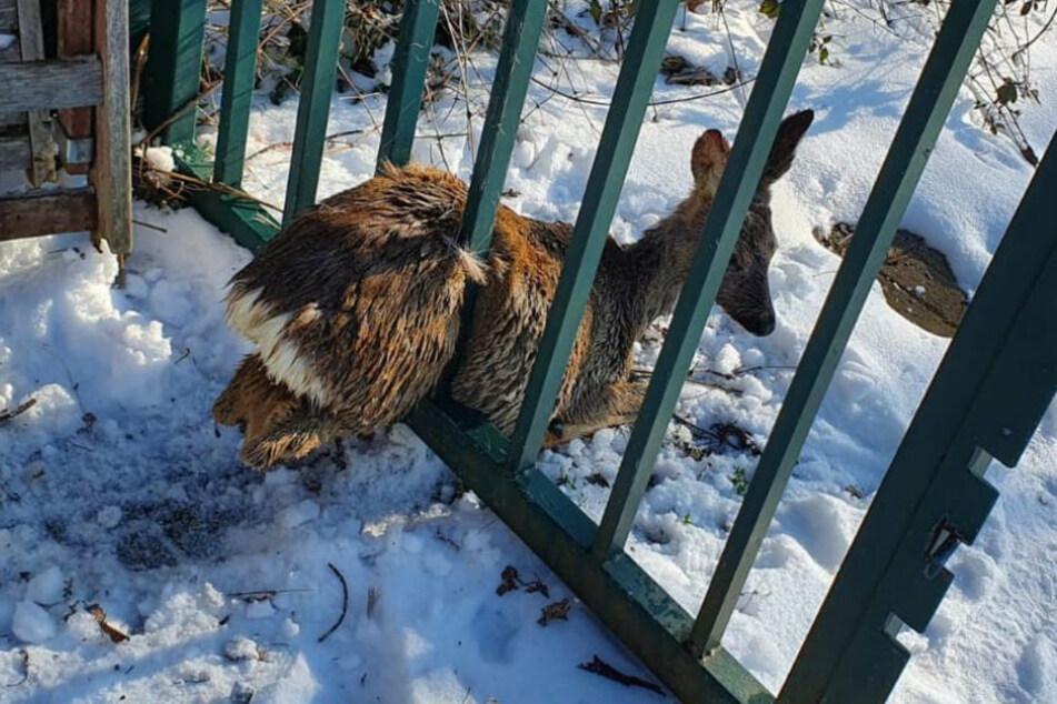Tier macht Sachen: Das arme Reh kam aus seiner misslichen Lage nicht mehr heraus.
