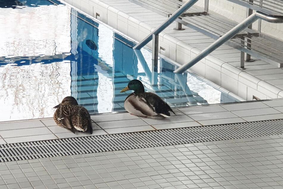 """Tierische Eindringlinge: Ein Entenpaar entspannt am Beckenrand im Gesundheitsbad """"Actinon"""" in Aue-Bad Schlema."""