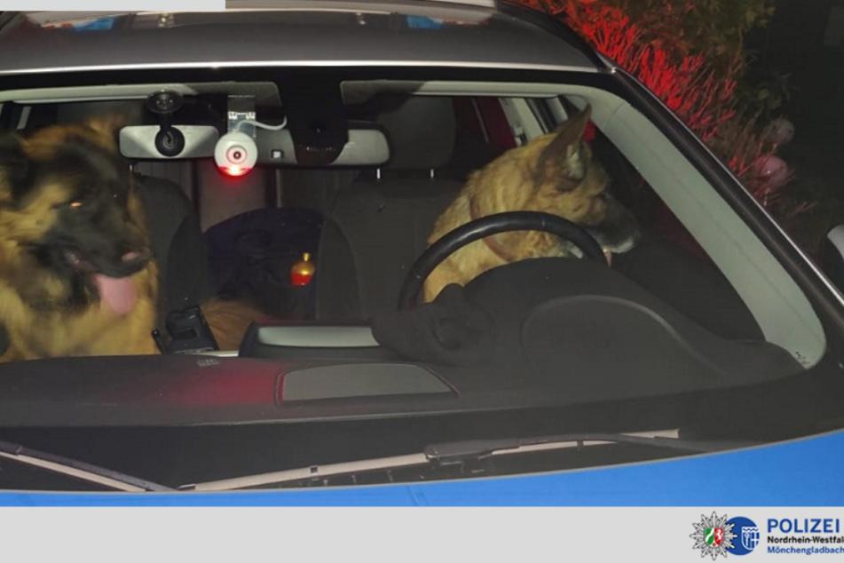 Wer sitzt denn da hinterm Steuer? Schäferhunde kapern Polizeiauto