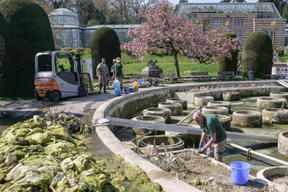 Aus dem großen Seerosenbecken im Maurischen Garten der Wilhelma in Stuttgart haben die Gärtnerinnen und Gärtner Berge von Algen entfernt.