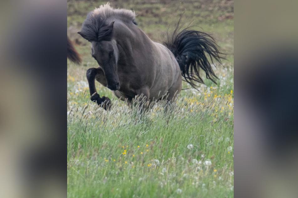 Der Jäger schoss aus Versehen auf ein Islandpferd-Pony. (Symbolbild)