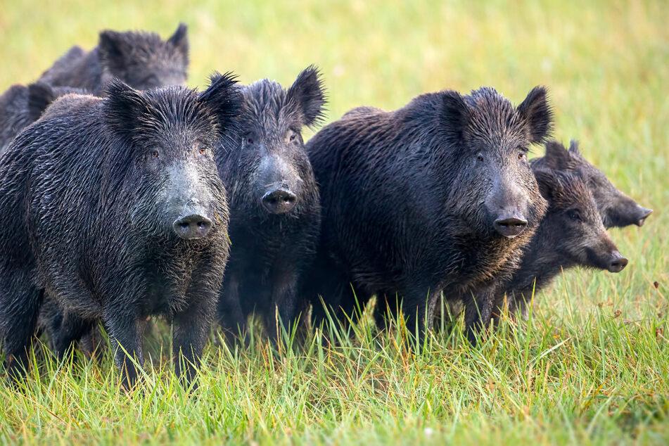 Die Sorge über die Schweinepest in Sachsen wächst.