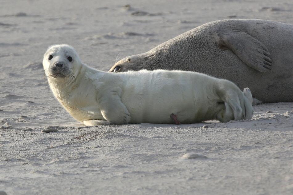 Ein Kegelrobbenbaby liegt am Strand einer Düne vor Helgoland. (Archivbild)