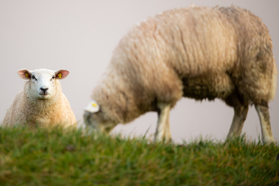 Schafe stehen auf einem Deich. Ein Jungtier ist in Kollmar einem Tierquäler zum Opfer gefallen. (Symbolbild)