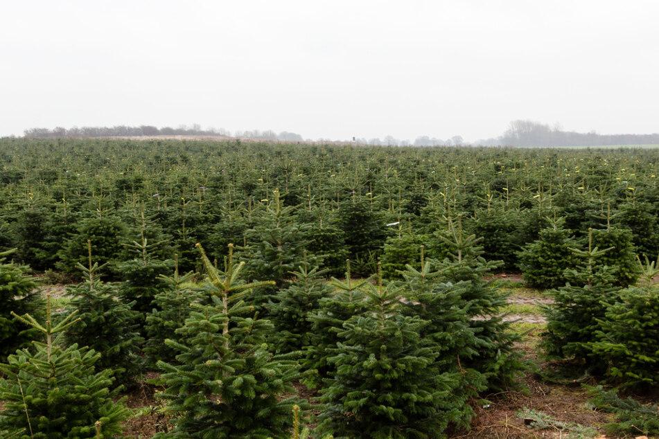 Wegen Corona: Werden jetzt die Weihnachtsbäume teurer?