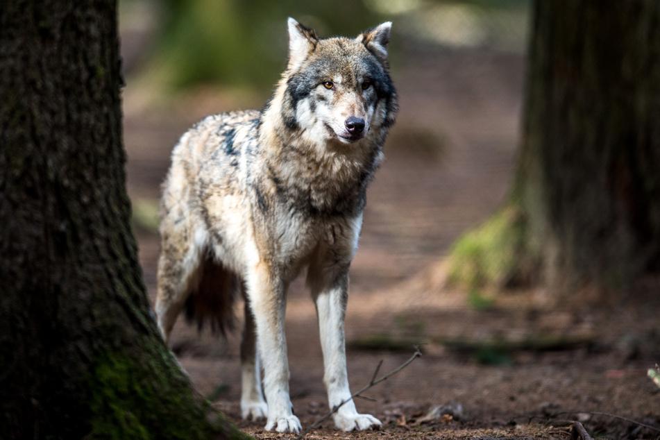 Ein Wolf steht in einem Wildpark in seinem Gehege (Archivbild). In NRW wurde jetzt der erste Nachwuchs von Wölfen in dem Bundesland nachgewiesen.