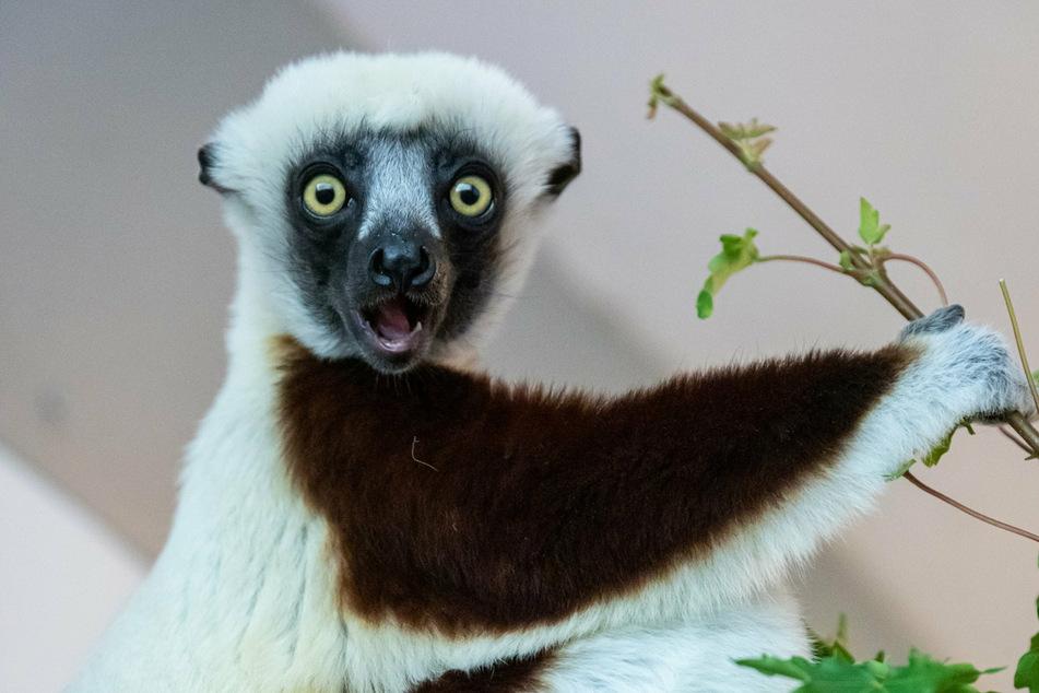 """Das Coquerel-Sifaka-Männchen """"Hostilian"""" wurde gemeinsam mit seinem Weibchen aus dem US-amerikanischen Duke Lemur Center importiert."""
