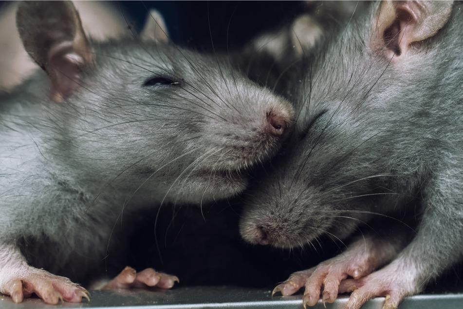 Ratten machen es einem Mann aus Liverpool schwer (Symbolbild).