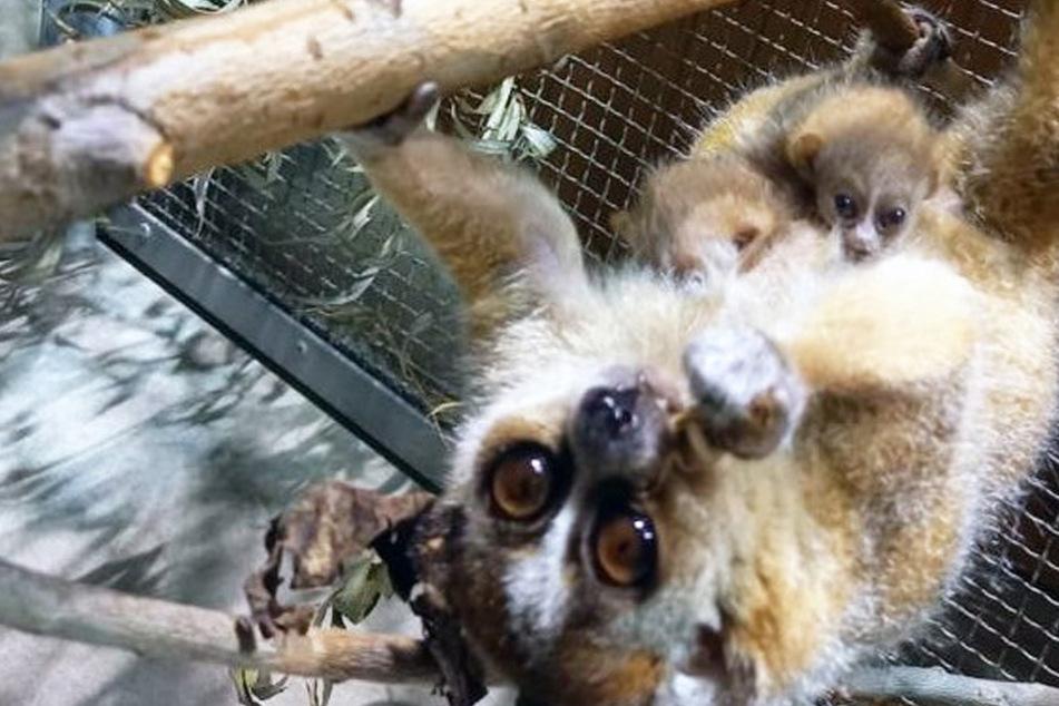 Leipzig: Zwillings-Nachwuchs im Zoo Leipzig: Überlebens-Chancen ungewiss