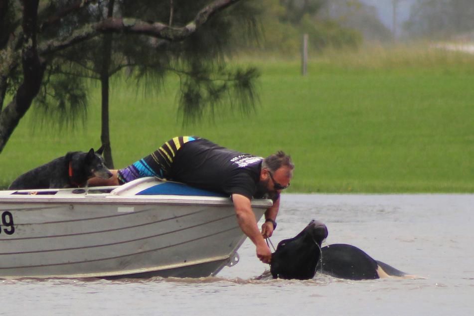 Ein Mann in einem Boot versucht eine Kuh aus dem Manning River in der Nähe der Bohnock-Brücke zu retten.