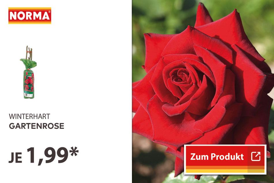 Gartenrose für 1,99 Euro.