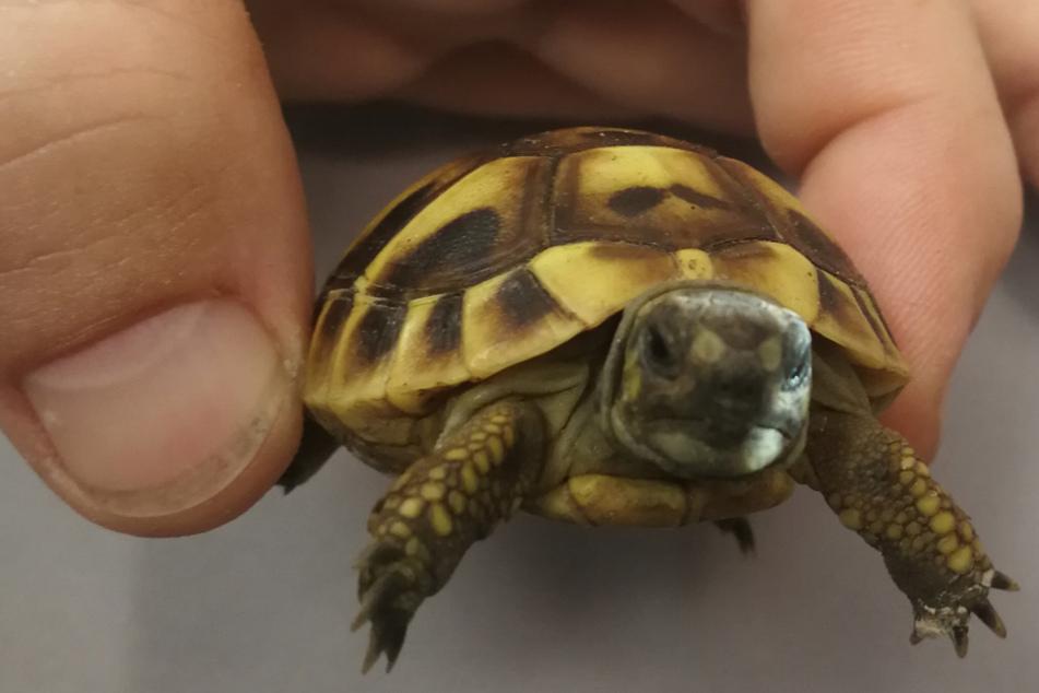 Ohne Wasser, ohne Futter eingesperrt: Beamte retten Baby-Schildkröte auf Autobahn