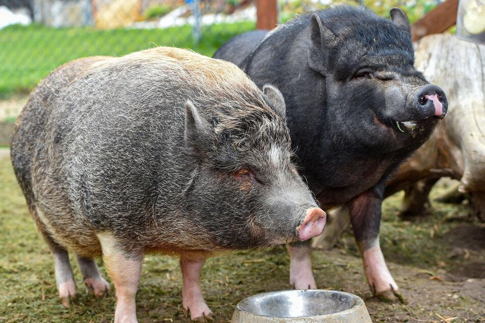 Die Göttinger Minischweine George (schwarz) und Harry (braun) suchen ein neues Zuhause.