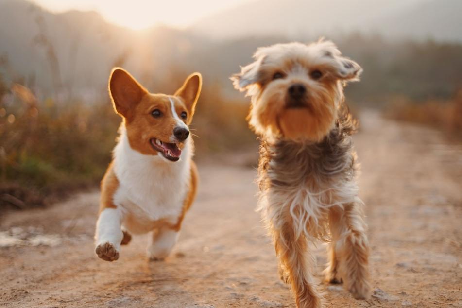 In einem speziellen Trainingskursen lernt ein Tierhalter, wie man einem verletzten Hund die Pfote verbindet