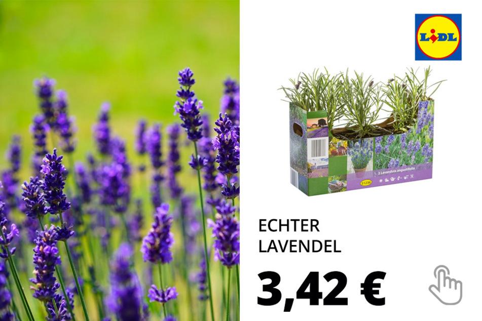 Echter Lavendel (Provence-Lavendel)