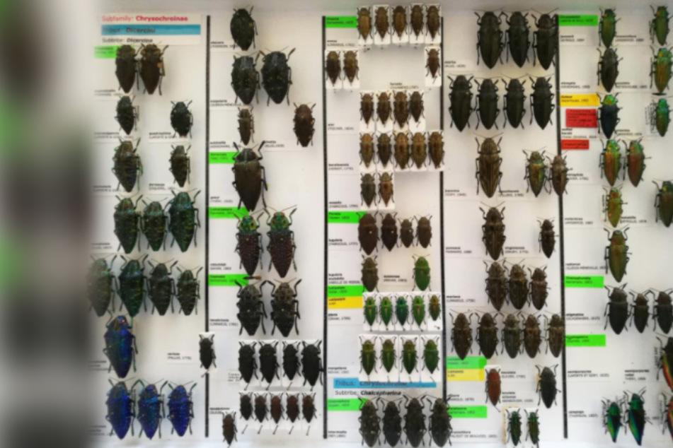 Sammel-Leidenschaft für Käfer kommt Mann teuer zu stehen