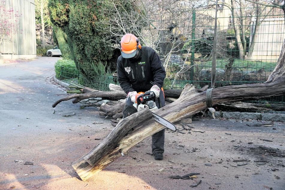 Die Baumstämme werden für die Nagetiere zurechtgesägt.