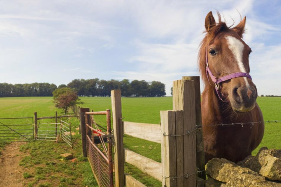 Pferde-Ripper sticht erneut zu: So abartig wurde diesmal eine Stute misshandelt