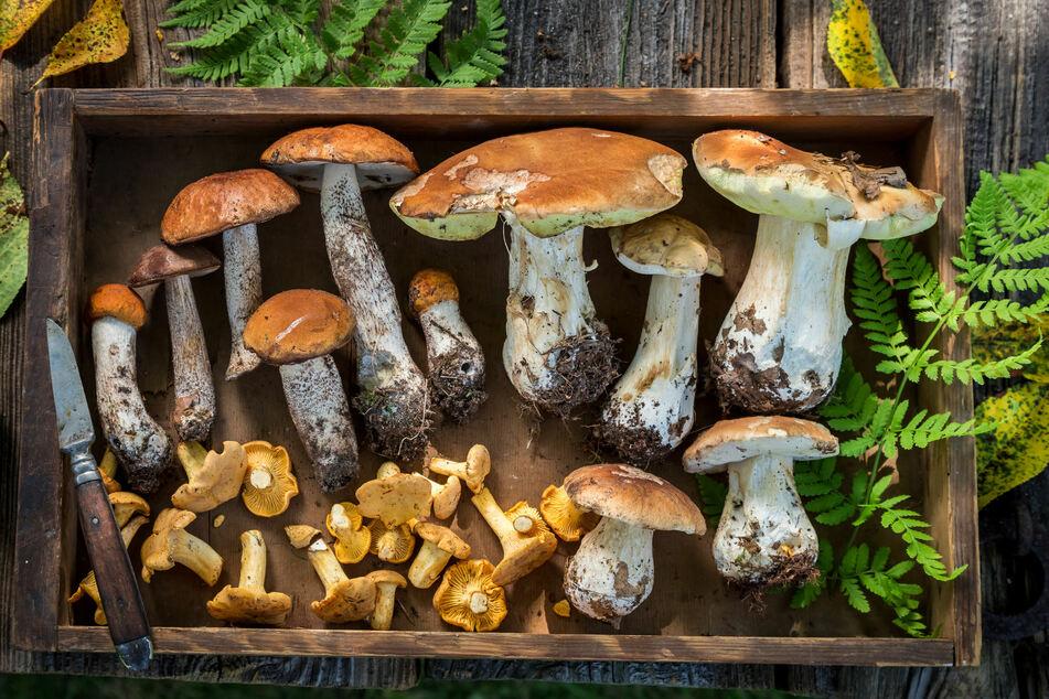 Als Eigenbedarf gilt eine Menge an Pilzen, die in etwa für ein bis zwei Mahlzeiten reicht.