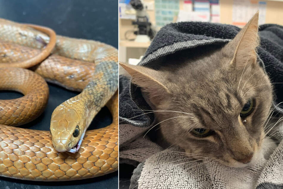 Heroic cat makes the ultimate sacrifice to protect his family from snake attack