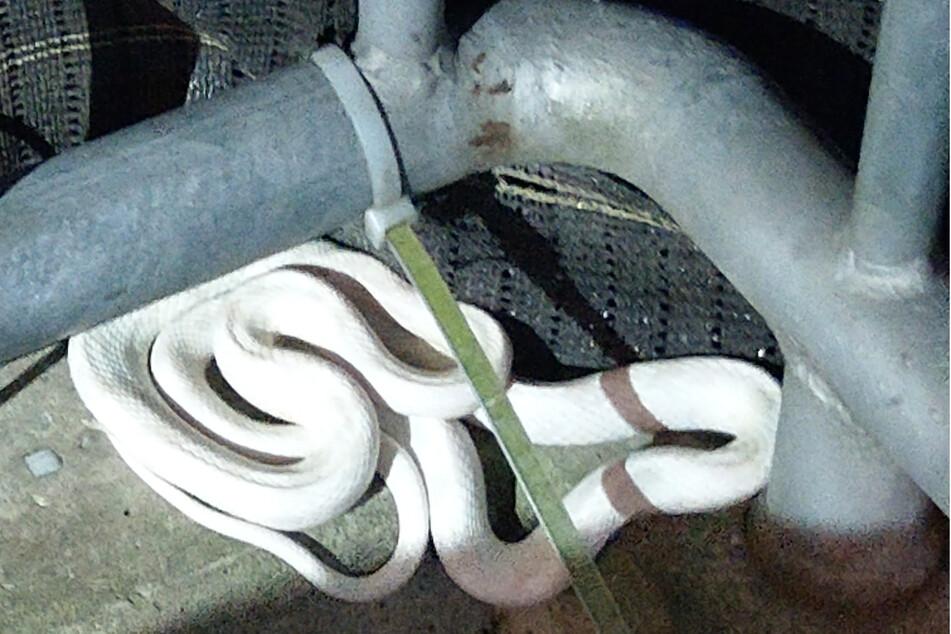 Diese Schlange hatte sich auf den Balkon eines Hauses in Kleve verirrt.