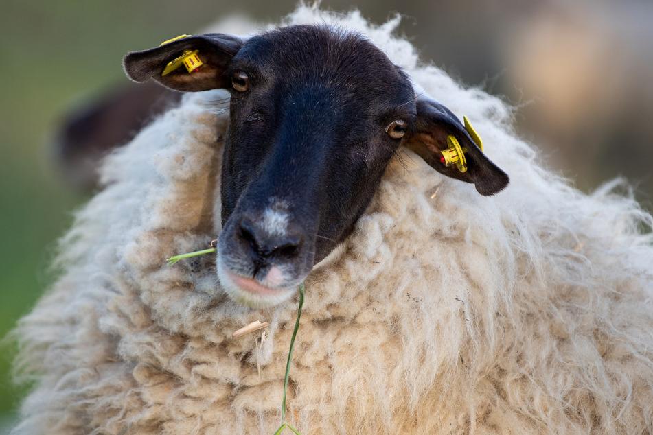 Berlin: Bestialisch auf Ostsee-Insel getötet: Polizei fahndet nach Schaf-Schlächter