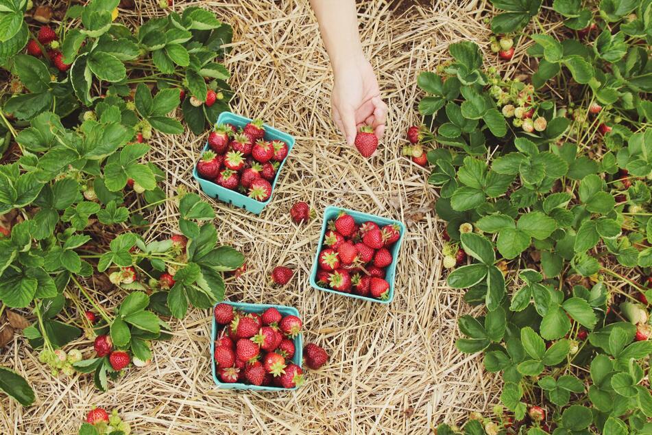 Wer Erdbeeren selber pflückt, hat auf dem Feld die Qual der Wahl.