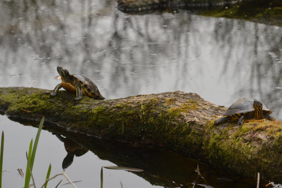 Zwei Wasserschildkröten wärmen sich in der Sonne im Wandsbeker Gehölz auf.