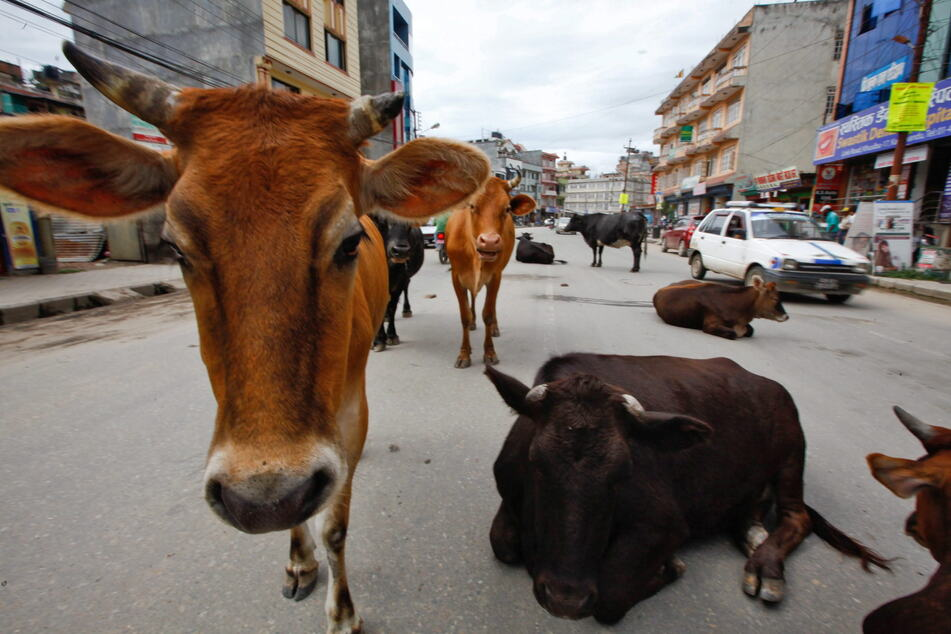Ein Gruppe Kühe ruht sich mitten auf einer Straße der Hauptstadt Kathmandu aus.