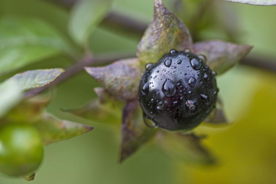 Die Giftpflanze des Jahres 2020, die Tollkirsche, ist in den Laubwäldern Europas zu finden.