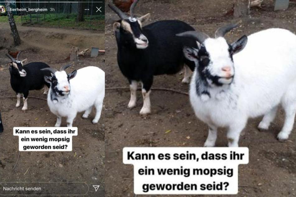 Das Tierheim in Bergheim beherbergt nicht nur jede Menge Hunde, Katzen und Kleintiere - auch einige Ziegen befinden sich unter den Bewohnern.