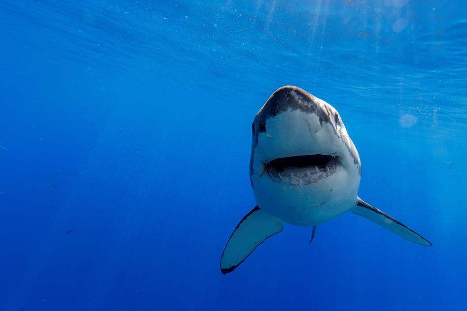 Haiangriffe sind in Neuseeland sehr selten (Symbolbild).