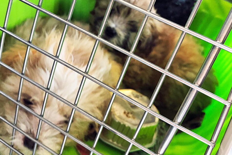 Hunde neben Benzinkanistern eingepfercht: Polizei rettet diese Welpen aus Transporter!